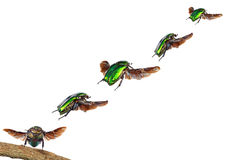 Flying beetle. Flight stages Royalty Free Stock Image
