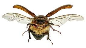 Flying beetle. Coleoptera: Scarabaeidae isolated on a white background stock images