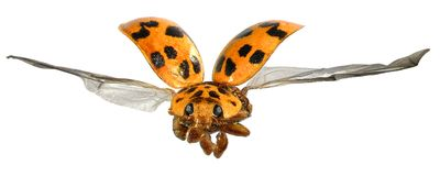 Flying beetle royalty free stock photography