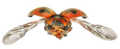 Flying beetle stock photo