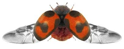 Flying beetle stock photos