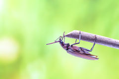 Flying beetle Royalty Free Stock Photo