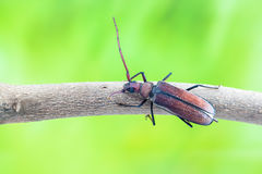 Flying beetle Royalty Free Stock Images