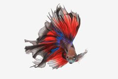 Flying betta fish