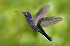 Flying big blue bird Violet Sabrewing with blurred green background. Hummingbird in fly. Flying hummingbird. Action wildlife scene Royalty Free Stock Photo