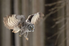Flying big Great Grey Owl in the forest, single bird with open wings. Norway Stock Photo