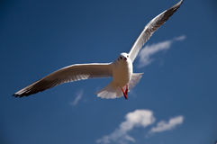 Flying bird. A red-mouth sea-gull flying high in the blue sky Stock Images