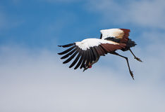 Flying bird. A flying crane ready to land royalty free stock photos