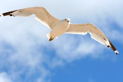 FLYING BIRD Royalty Free Stock Images