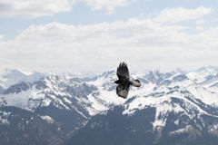 Flying bird against the alps. Flying bird against snow capped mountains of the alps Stock Photo