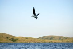 Flying bird against blue sky and lake Royalty Free Stock Photo