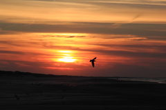 Flying bird against darking sky, Ameland beach, Holland Stock Photos
