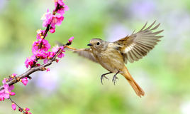 Flying bird. A bird flying in the air foraging royalty free stock photo