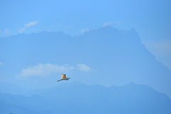 Flying bird with background of mountain Kinabalu. Blue sky on the beach at tawau, malaysia Royalty Free Stock Image