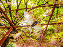 Flying bird on the background of  pink wisteria trellis Stock Photos