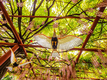 Flying bird on the background of  pink wisteria trellis Royalty Free Stock Photography