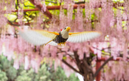 Flying bird on the background of  pink wisteria trellis Stock Photo