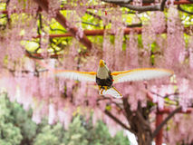 Flying bird on the background of  pink wisteria trellis Stock Photography