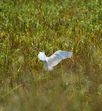 Flying Bird Bill ibis Royalty Free Stock Photography