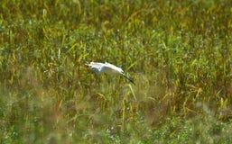 Flying Bird Bill ibis stock photo