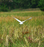 Flying Bird Bill ibis stock photography