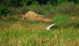 Flying Bird Bill ibis stock photos