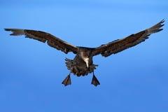 Flying bird. Bird in flight. Giant petrel, big sea bird on the sky. Bird in the nature habitat. Sea bird from Sea Lion Island, Fal Stock Photo