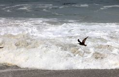 Flying Bird. Bird flying above the sea stock images