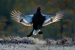 Flying bird. Black Grouse, Tetrao tetrix, lekking nice black bird in marshland, red cap head, animal in the nature forest habitat, Royalty Free Stock Photos