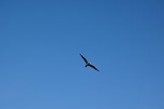 Flying bird in the blue sky. Photo flying bird in the blue sky Stock Photography