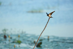 Flying  bird. In the countryside of thailand Royalty Free Stock Image