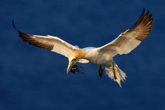 Flying bird. Flying Northern gannet with nesting material in the bill. Bird in fly with dark blue sea water in the background, Fly Stock Photo