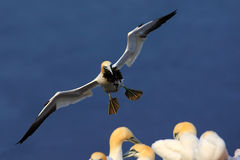 Flying bird. Flying Northern gannet with nesting material in the bill Bird in fly with dark blue sea water in the background, Flyi Stock Photo