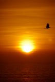 Flying bird and Goa sunset Royalty Free Stock Photography
