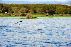Flying bird - Lake Naivasha (Kenya - Africa) Stock Photography