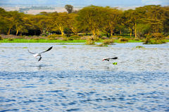 Flying bird - Lake Naivasha (Kenya - Africa) Royalty Free Stock Photos