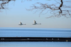 Flying bird on Lake Ontario, taken in toronto Royalty Free Stock Photos