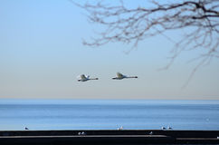 Flying bird on Lake Ontario, taken in toronto Stock Photo