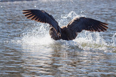 Flying bird landing in water. Flying bird with wings spread landing in the lake Stock Photography