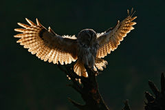 Flying bird. Morning back light. Owl in the forest. Bird in fly. Action scene Flying Eurasian Tawny Owl, with dark blurred forest Stock Image