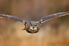 Flying bird with open wings in grass meadow, face to face detail attack fly portrait, orange forest in the background, Eurasian Ea. Gle owl Stock Photos