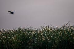 Flying bird over reeds of Jipe Lake, Kenya Stock Image