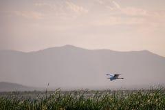 Flying bird over reeds of Jipe Lake, Kenya Stock Images
