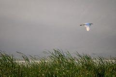 Flying bird over reeds of Jipe Lake, Kenya Royalty Free Stock Photo