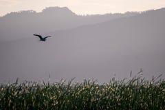 Flying bird over reeds of Jipe Lake, Kenya Stock Photo