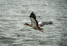 Flying bird Royalty Free Stock Photos