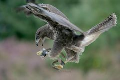 A flying bird of prey Stock Photos