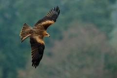 Flying bird of prey. Bird in fly with open wings. Action scene from nature. Bird of prey Black Kite, Milvus migrans, blurred fores. T in the background, Germany Stock Photos