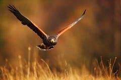 Flying bird of prey, Harris Hawk, Parabuteo unicinctus, in grass stock photo