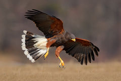 Flying bird of prey, Harris Hawk, Parabuteo unicinctus, landing Stock Images